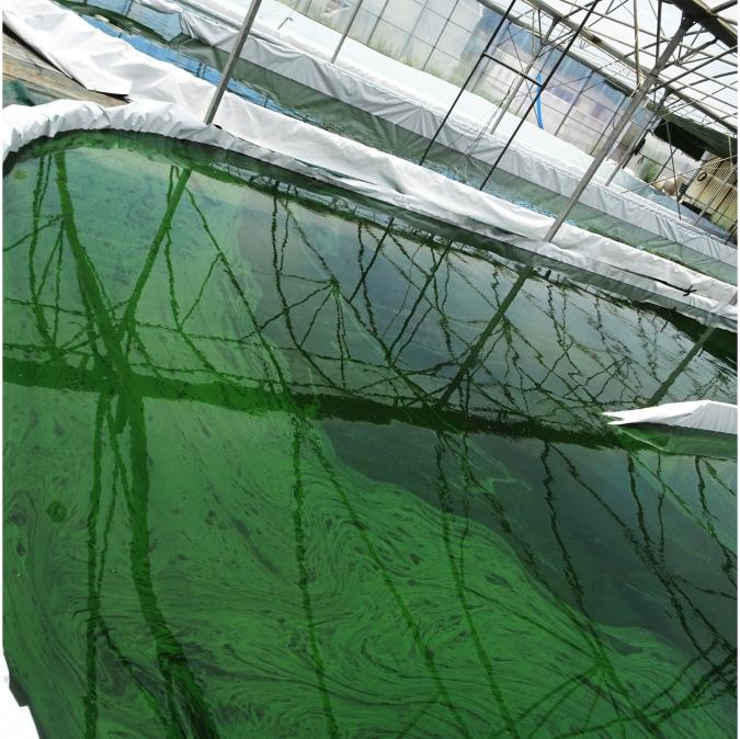 Cap Spiruline - Spiruline en paillettes - 100% Artisanale - Spiruline en brindilles