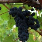 DOMAINE DU PONT DE LIVIER - Viticulteurs vignerons indépendants  passionnés en Anjou