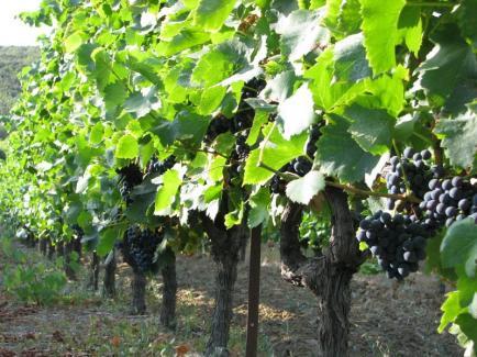 Domaine La Tour Penedesses - Venez découvrir nos vins Côteaux du Languedoc !