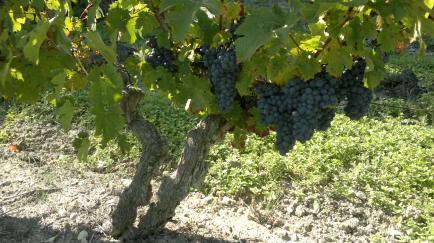 Domaine Patrick BARC - Venez découvrir nos vins en AOC Chinon