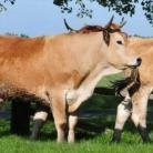 La Ferme de Dixmérie - Viande bovine bio du Marais Poitevin,  conduit son troupeau de charolaise et maraîchine en extensif