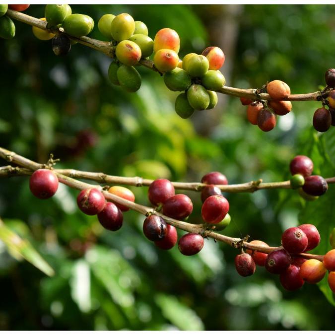 LA TRIBU - Café Sanchirio Pérou Grains 1kg Équitable & Bio - Café - Café grain