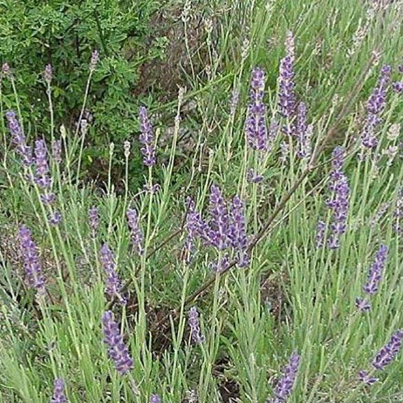 Plantago - Plantes médicinales paysannes - Huile essentielle de lavande aspic - Huile essentielle