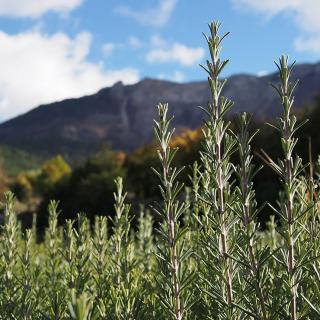 Plantago - Plantes médicinales paysannes - Huile essentielle de romarin - Huile essentielle