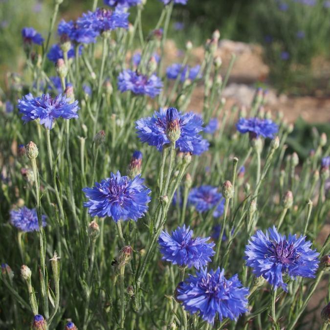 Plantago - Plantes médicinales paysannes - Hydrolat de bleuet - Hydrolat