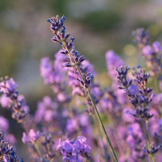 Plantago - Plantes médicinales paysannes - Hydrolat de lavande fine sauvage - Hydrolat
