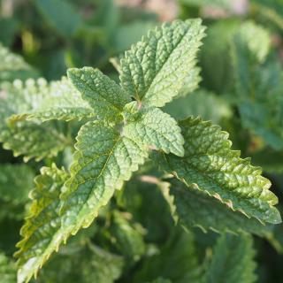 Plantago - Plantes médicinales paysannes - Hydrolat de mélisse - Hydrolat