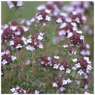 Plantago - Plantes médicinales paysannes - Hydrolat de thym sauvage - Hydrolat