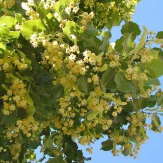 Plantago - Plantes médicinales paysannes - Hydrolat de tilleul - Hydrolat