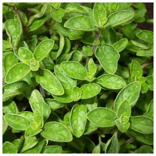 Plantago - Plantes médicinales paysannes - Hydrolat d'origan - Hydrolat