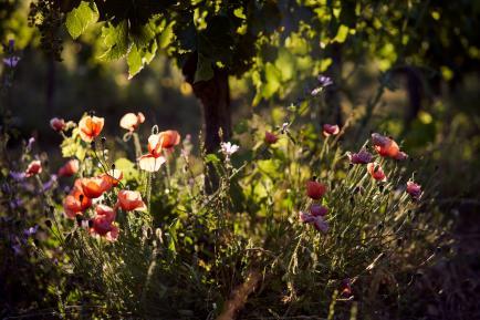 DOMAINE DE CAZABAN - Domaine viticole en biodynamie au nord de la cité de Carcassonne