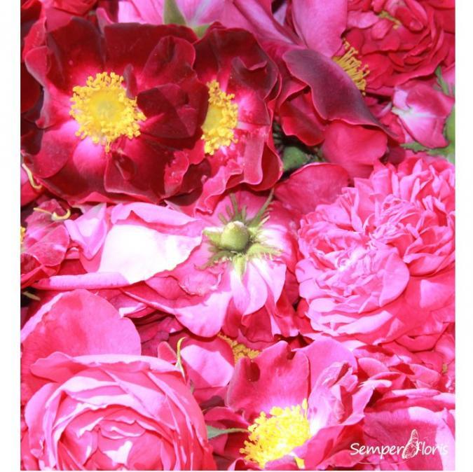 Semperfloris - Sirop Rose ancienne - sélection herboriste - Sirop